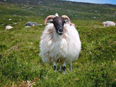 Schaf in Irland