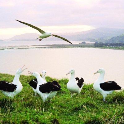Albatross 1