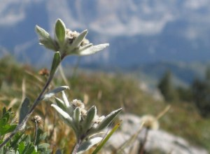 Südtiroler Edelweiß