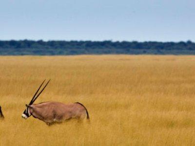 Oryx Antilopen im Etosha Nationalpark