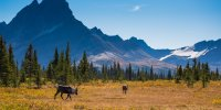 JasperNP-Caribou in a Meadow Parks Canada Ryan Bray