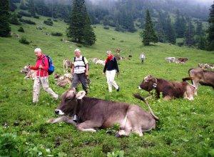 Gemütliche Kühe