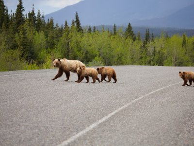 Grizzly Bear Family Crossing Alaska Highway