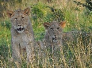 Löwenjunge