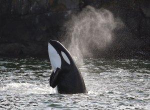 Orca in Kanada