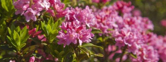 Wertach Alpenrosenblüte