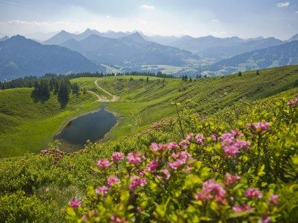 Alpenrosenblüte am Wertacher Hörnle