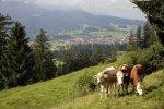 Kühe in der Natur