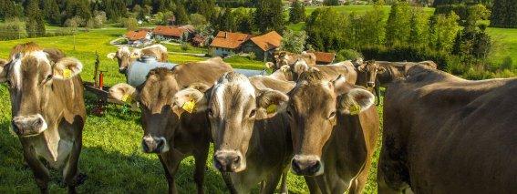 Landschaft und Kühe