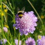Blume mit Hummel