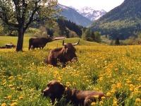 Unsere Kühe in der Frühlingswiese