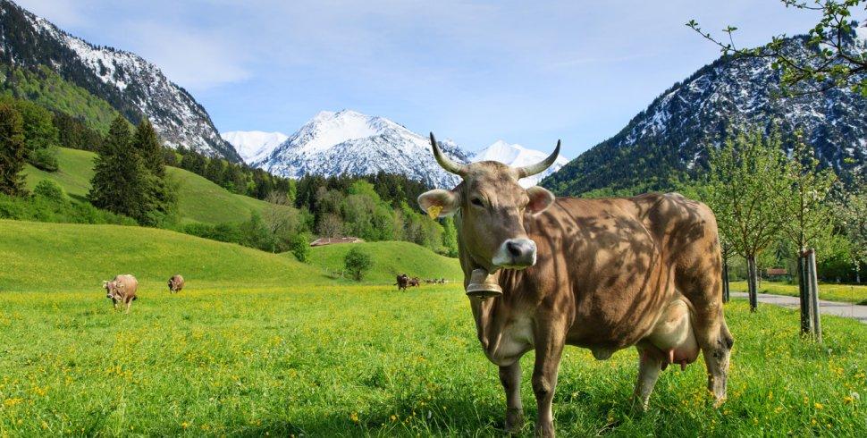 Oberstdorf Kuhe einzeln