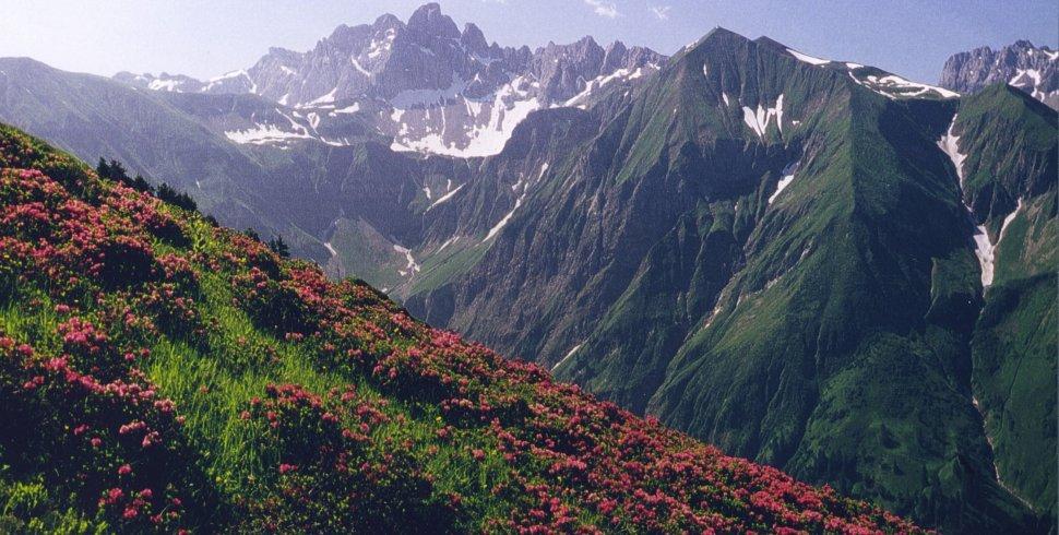 Alpenrosen an Berghängen