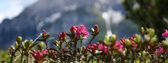 Alpenrosen im Bergsommer