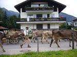 Die Herde der Alpe Schlappold im Zweistapfenweg